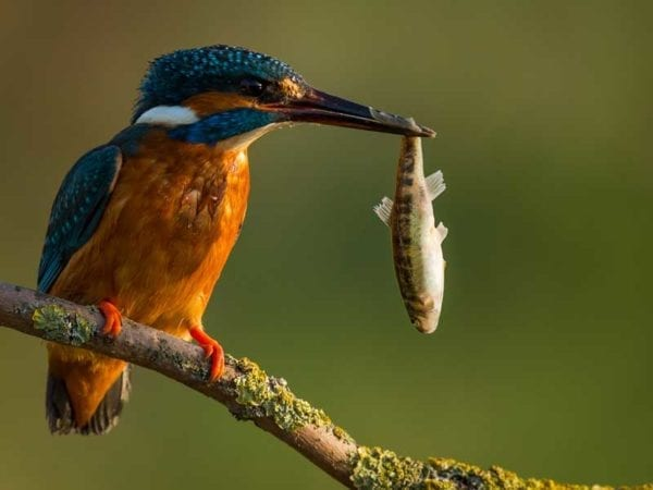 king-fisher-bird-in-sri-lanka